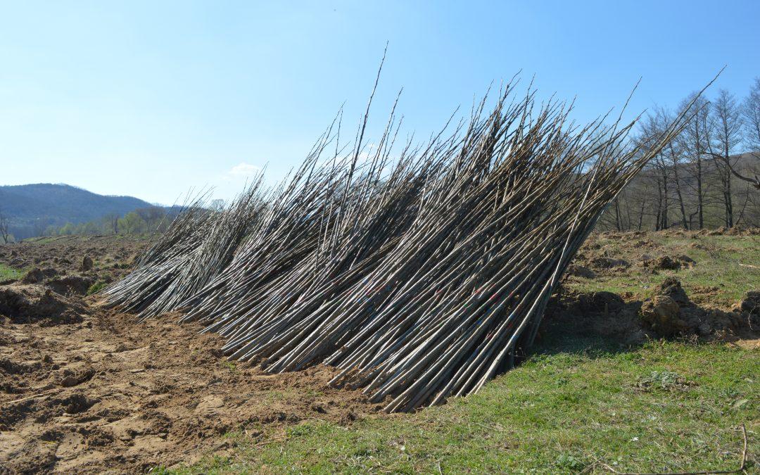 Започна залесяването на тополови култури в землището на село Мандрица